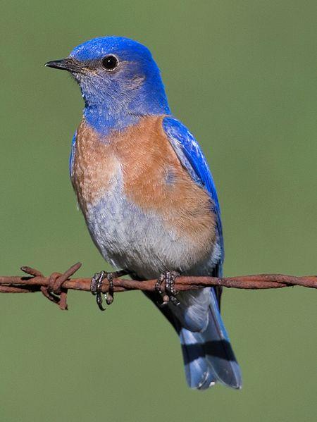 450px-Western_Bluebird_-_male